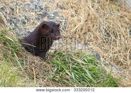 Wild Mink Looking From Burrow. Mustela Lutreola - Wild Predatory Furry Animal Hunting In Natural Hab