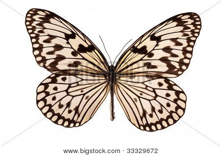 Idea leuconoe butterfly isolated on white background poster