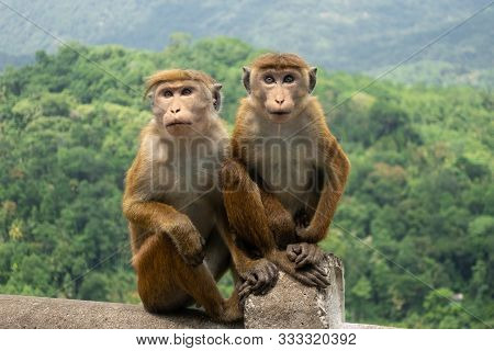 Two Toque Macaques (macaca Sinica) In Green Jungle. Cute Wild Monkeys In Nature Habitat, Kandy, Sri