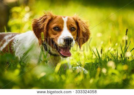 Epagneul Breton, Spaniel Breton, Brittany Spaniel, Bretonischer Spaniel Lying In Grass Hidding From
