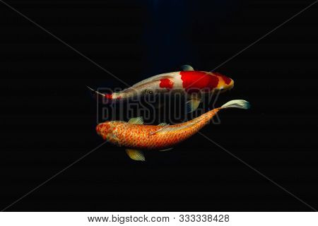 Japanese Koi Fish Swim In Pond Isolate In Black Background.