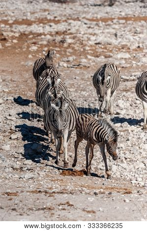 poster of A group of Burchells Plains zebra -Equus quagga burchelli- standing close to each other on the plains of Etosha National Park, Namibia.
