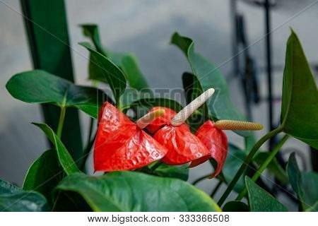 Beautiful Red Anthurium Flowers Outdoors Houseplant Leaves Exotic Three