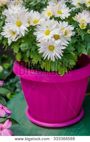 White Argyranthemum Flowers In A Bright Pink Pot Houseplant Leaves Garden Bunch