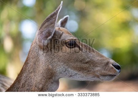 Close-up Portrait Of Female Fallow Deer (dama, Dama) In The Forest. Photography Of Nature And Wildli