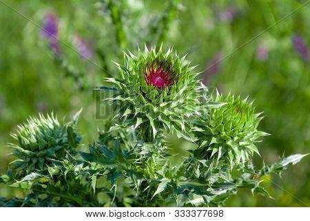 Close Up Beautiful Violet Blossom Of Onopordum Acanthium (cotton Thistle, Scotch Thistle, Donkey Thi