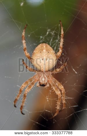 Spider Garden-spider (lat. Araneus) Kind Araneomorph Spiders Of The Family Of Orb-web Spiders (arane