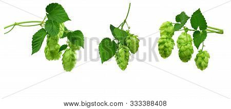 Set - Hop Cones. Medical Plant. Close-up Of Green Ripe Hop Cones. Green Hop Conesisolated On White B