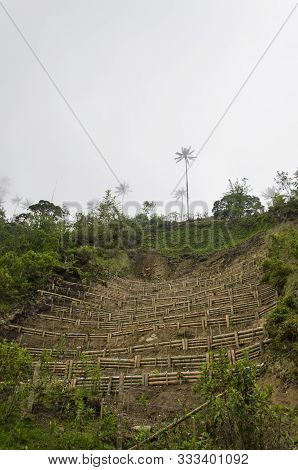 Wax Palm Terrace Cultivation, Attempted Reforestation Of Ceroxylon Quindiuense, National Tree Of Col