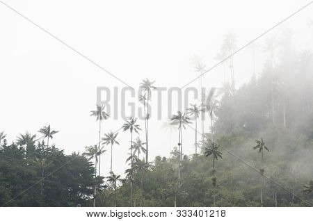 Cocora Valley Beautiful Misty Landscape, With Quindio Wax Palms, Ceroxylon Quindiuense, National Tre