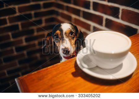 Adorable Dachshund Dog Sitting In A Cafe
