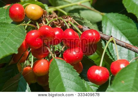 Cherries Hanging On A Cherry Tree Branch