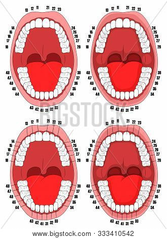 Teeth. Oral Cavity. Vector Illustration Of The Oral Cavity With Teeth That Are Numbered For Dental C