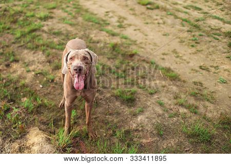 From below gorgeous strong Weimaraner hound with opened mouth sitting during walk on meadow. Rainbow on background poster