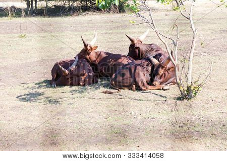 Herd Of African Cattle Watusi (bos Taurus Africanus), Also Known As Cattle Ankole-vatusi Or Cattle S