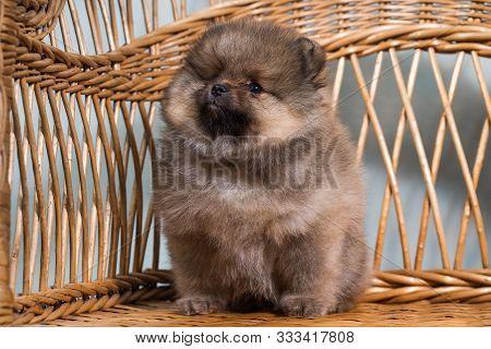 Cute Puppy Of Miniature Pomeranian Spitz Zwergspitz Or Dwarf Spitz On A Chair. Small Dog Is Two Mont