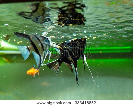 Couple Of Angelfishes Eating In A Fish Tank