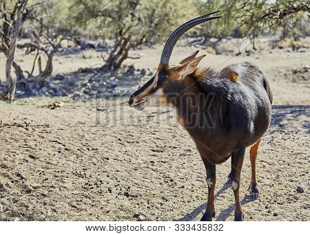 A Sable Antelope In Its Natural Habitat