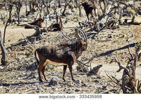 Sable Antelope In Their Natural Habitat Outdoors
