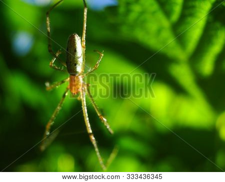 A Spider With Long Legs And Hair Weaves A Web And Waits For Prey In The Tropics. Arthropod Insects I