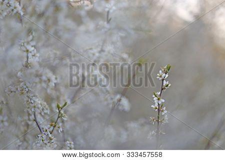 Blooming Blackthorn Prunus Spinosa In Partial Optical Blur,