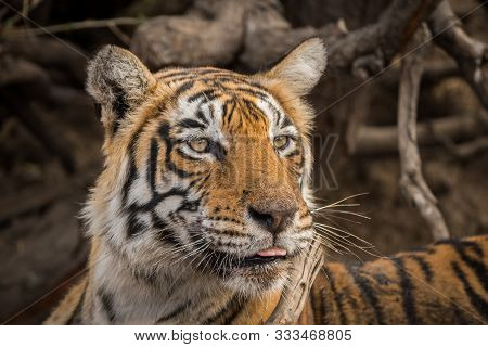 Beautiful royal bengal female tiger portrait or head shot with an eye contact. This Adult tigress has Lovely mane and beard at Ranthambore National Park, Rajasthan, India, Asia - panthera tigris poster