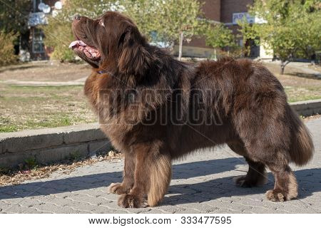 Cute Brown Newfoundland Dog In The Park