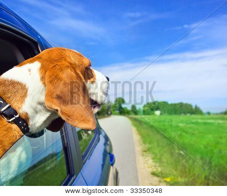 The cute dog travels in the blue car. poster