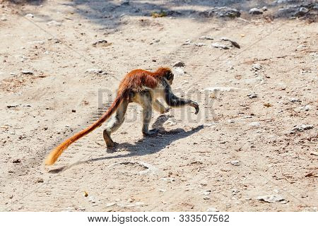 Red Colobus Running Along The Country Road