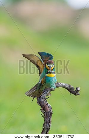 The European Bee-eaters, Merops Apiaster Are Sitting And Mating On A Nice Branch, During Mating Seas