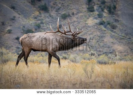 Cervus Canadensis, Elk, Wapiti Is Standing In Grass, In Typical Autumn Environment, Majestic Animal