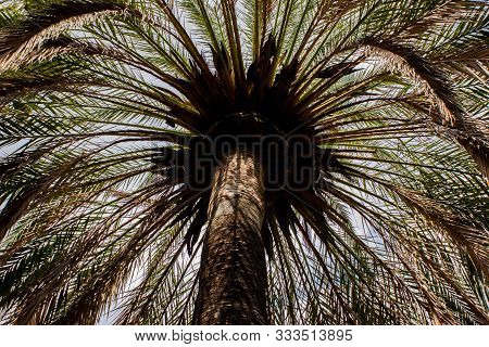 View Of Palm Tree From Below In The City Of Pollenca, Mallorca, Spain 2018. Muted Colors, Tropical T