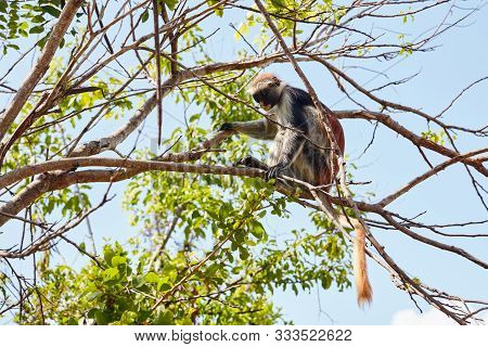 Colobus Monkey Sitting On A Tree Branch Looking Down