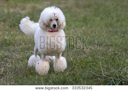 Beautiful White Poodle Standing In Green Grass