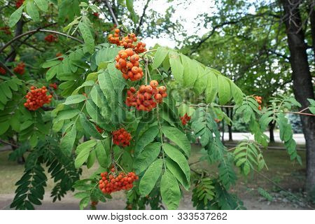 Pinnate Leaves And Orange Berries Of Sorbus Aucuparia