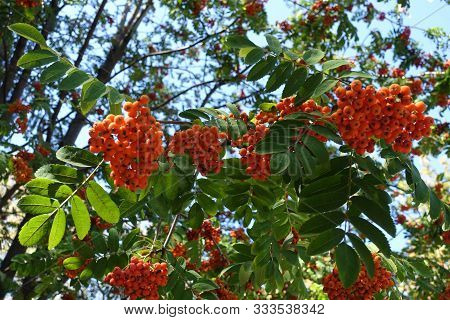 Reddsih Orange Berries In The Leafage Of Sorbus Aucuparia In September