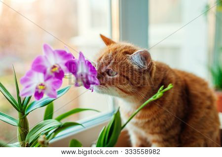 Ginger Cat Smelling Dendrobium Orchid Walking On Window Sill At Home. Curious Pet