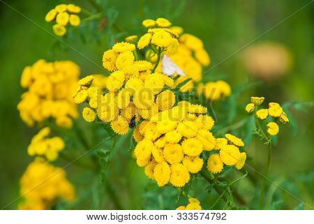 Tansy (tanacetum Vulgare, Common Tansy, Bitter Buttons, Cow Bitter, Mugwort Golden Buttons)