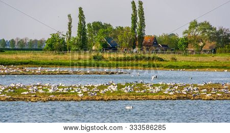 Large Flock Of Seagulls And Rural Buildings At The Schakerloopolder Of Tholen, Nature Reserve Of Zee
