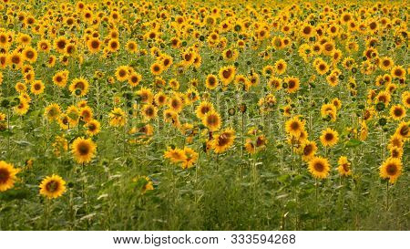 Field With Sunflowers. Sunflower Close Up. Advertising Sunflower Seeds And Oil. Rows Of Sunflowers.