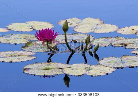 Purple Water Lily swimming in a cool pond of perfectly still blue water, such a tranquil and peaceful setting, beautiful mirror reflection.