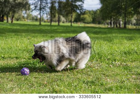 Cheerful Keeshond Puppy Is Playing With A Ball And Frolic On The Grass