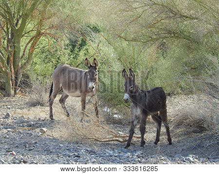 A Pair Of Wild Burros Making Their Way Across The Desert, Chemehuevi Mountains, Parker, California.