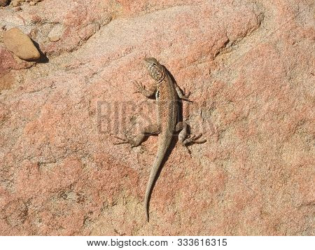 A Common Side-blotched Lizard, Climbing Up A Red Granite Boulder, Sespe Wilderness, Los Padres Natio