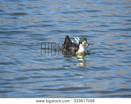 Duclair Duck Spending A Day On The Water, Sierra Nevada Mountains, Lake Isabella, California.