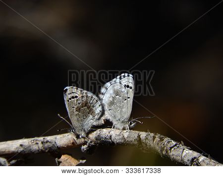 A Pair Of Pacific Dotted Blue Butterflies Mating, Sespe Wilderness, Los Padres National Forest, Vent