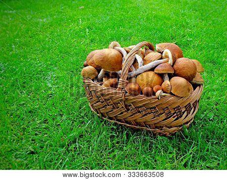Wicker Basket Of Raw Mushrooms On Green Grass Meadow. Autumn Penny Bun Mushrooms Healthy Food. Edibl
