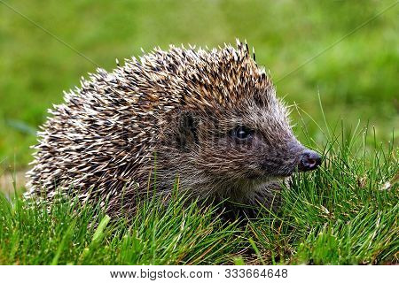 Hedgehog, Wild Animal With Cute Nose Close Up. Native European Adult Little Hedgehog In Green Grass.