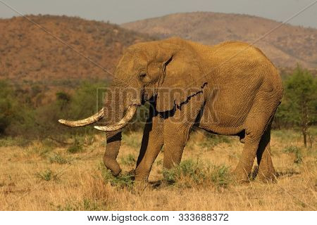 Big And Old Elephant Male (loxodonta Africana) In Pilanesberg National Park (game Reserve) Going On