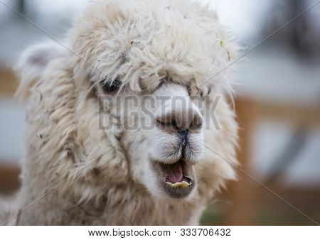 Closeup Portrait Of An Adorable Cute White Curly Shagged Female Alpaca With With An Amusing Headdres